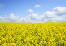 Ochrona herbicydowa rzepaku